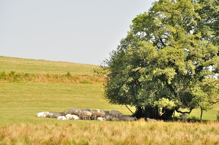 Tree and cows in meadows photo