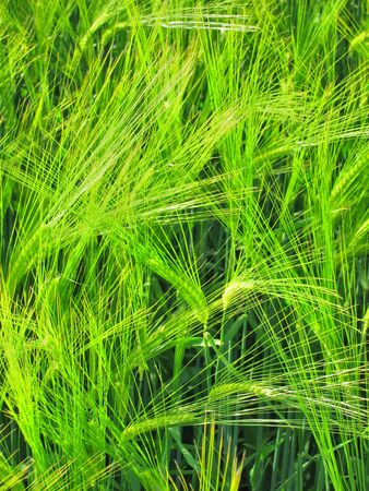 Green rye Stock Photo