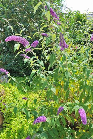 buddleia: Buddleia flowering bush