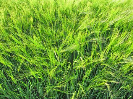 rurale: Green rye Stock Photo