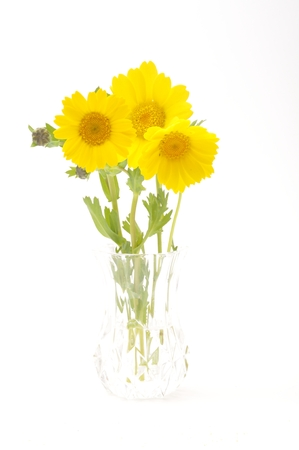 golden daisy: golden daisy on a blue background