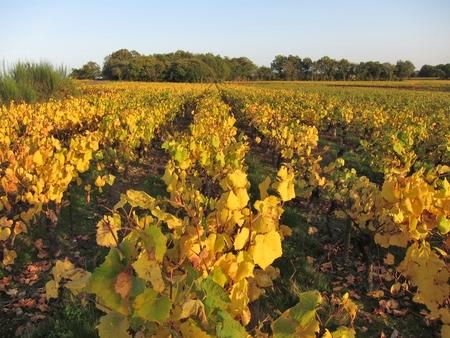 pays: Vineyard in Pays Nantais