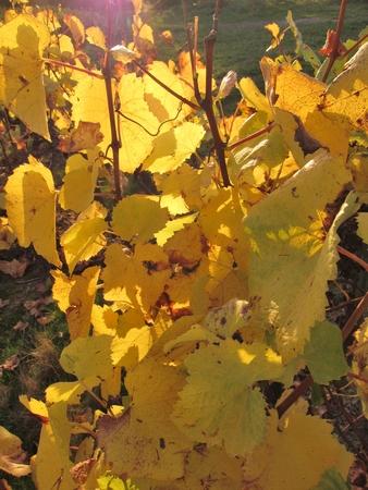 muscadet: Vineyard in Pays Nantais