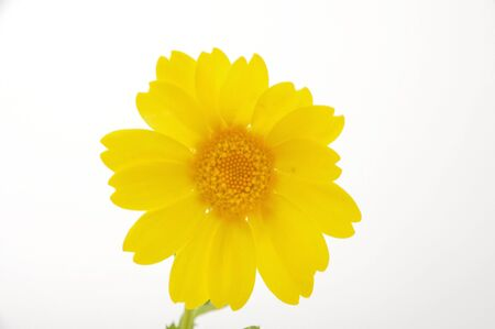 golden daisy: golden daisy on a blue background  golden daisy on a blue background