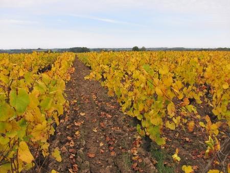 "muscadet: Vineyard in  ""Pays Nantais """