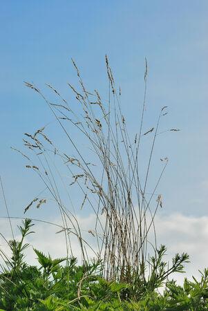 gramineas: Hierbas secas