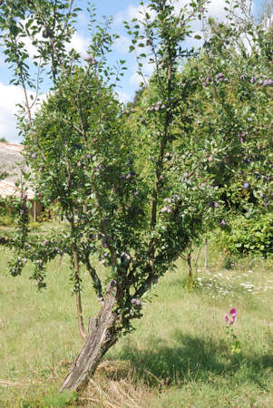 plum tree: Plum tree in a garden