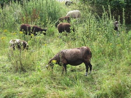 grazing: Sheep grazing