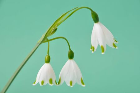 fragility: Spring snowflake flower,leucojum vernum Stock Photo