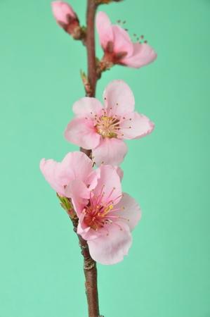 by shot: Peach Blossom Studio shot