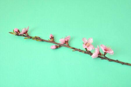by shot: Peach Blossom, Studio shot Stock Photo