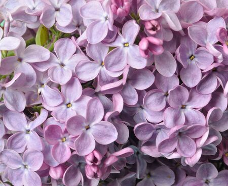 leafed: Lilac blossoms