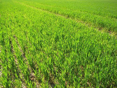 rurale: Wheat