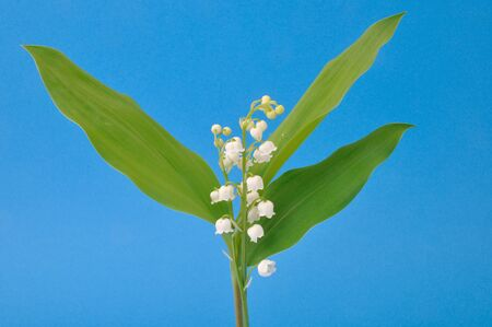 fragility: lily of the valley
