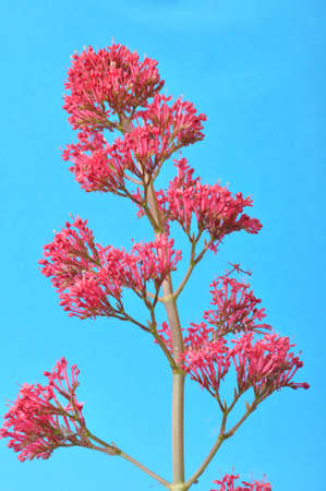 leafed: valerian blossoms