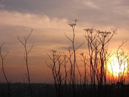 finocchio: finocchietto selvatico su tramonto Archivio Fotografico