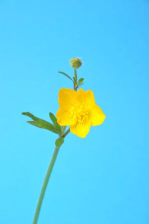 buttercup: buttercup Stock Photo