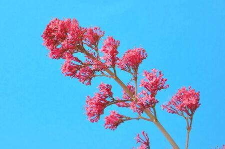 valerian plant: valerian blossoms