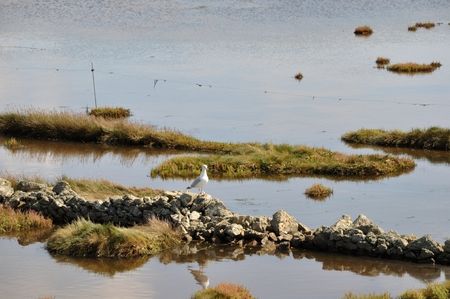 protected plant: Marsh with seagull on stones Stock Photo