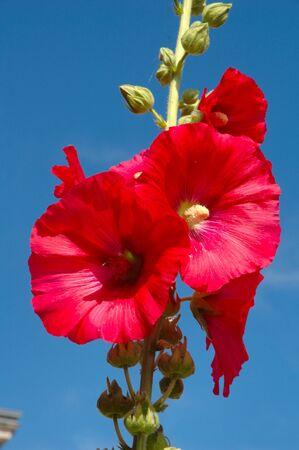 rosea: Garden hollyhock lcea Althea rosea