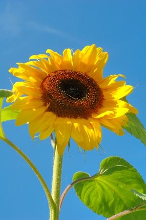 sun flower: Sun flower Stock Photo