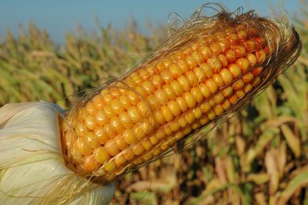 feedstock: An ear of ripe corn Stock Photo