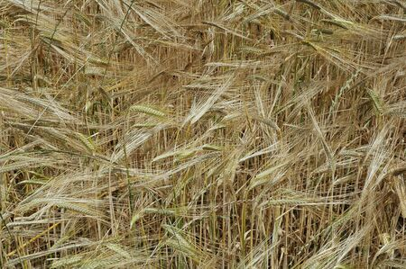 rurale: Rye field