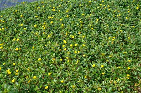 invading: Large flower Primrose