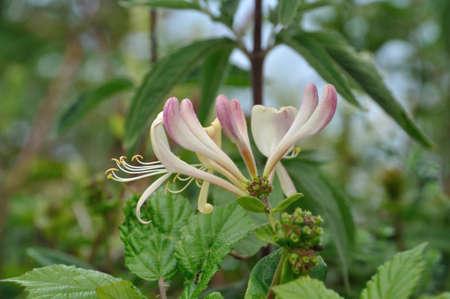 fragility: Flowers of honeysuckle Stock Photo