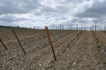 du: Vineyard in France  Coteaux du Layon  Stock Photo