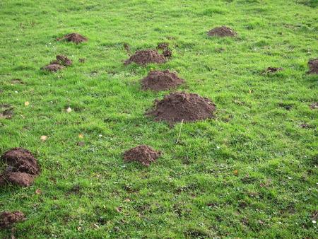 molehill: molehill in a field