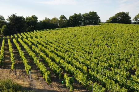 "Vineyard in France ""Coteaux du Layon"""