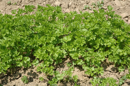 dietetics: parsley in a vegetable patch