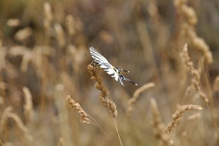 arthropod: Butterfly Canadian tiger swallowtail