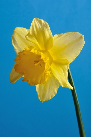 daffodil: daffodil Stock Photo