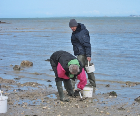 bivalve: PLERIN, FRANCE 21 MARCH, 2015: shell fishing on the foreshore at Martin beach