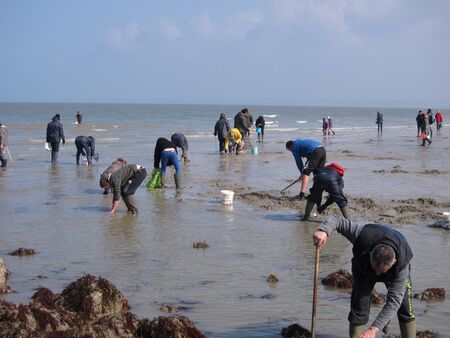 foreshore: PLERIN, FRANCE 21 MARCH, 2015: shell fishing on the foreshore at Mart