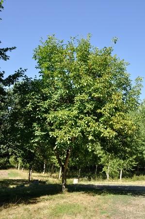 walnut tree: walnut tree