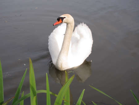 palmiped: Swan in a pond