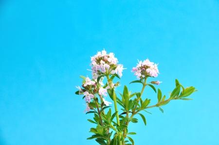 tomillo: flores de tomillo Foto de archivo