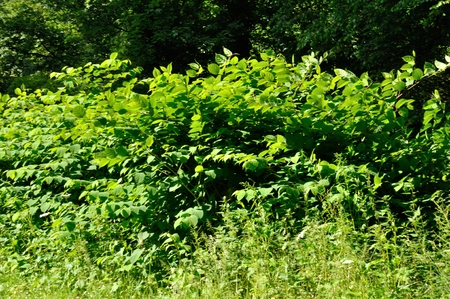 introduced: Invasive Japanese knotweed Stock Photo