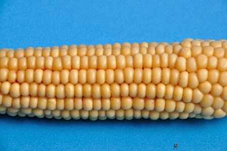 An ear of ripe corn Stock Photo