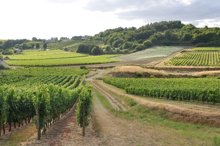 Vineyard in France  Coteaux du Layon  Stock Photo
