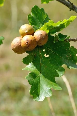 arthropod: Oak  gall