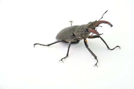 lucanus: Stag beetle - Lucanus cervus Stock Photo