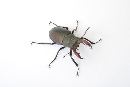 fagaceae: Stag beetle - Lucanus cervus Stock Photo