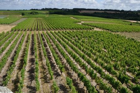 viniculture: Vineyard in France  Coteaux du Layon  Stock Photo