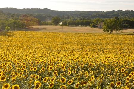 sun flower: Domme, sun flower field Stock Photo