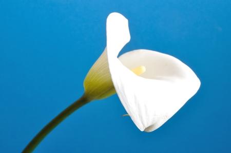 arum: Arum lily Stock Photo