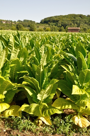 tobacco plants: Rows of tobacco plants